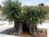 Tochni Trail Olivenbäume